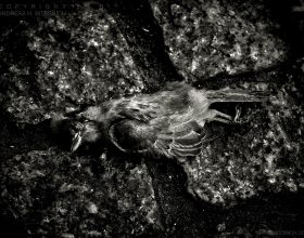 Dead bird, Berlin 2017
