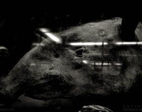 Malayan tapir, Vienna 2015